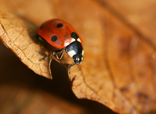 lady_beetle